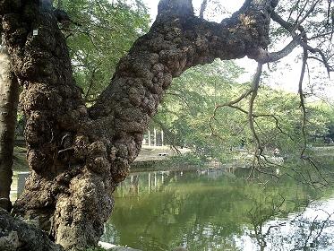 台南市中山公園內大樹