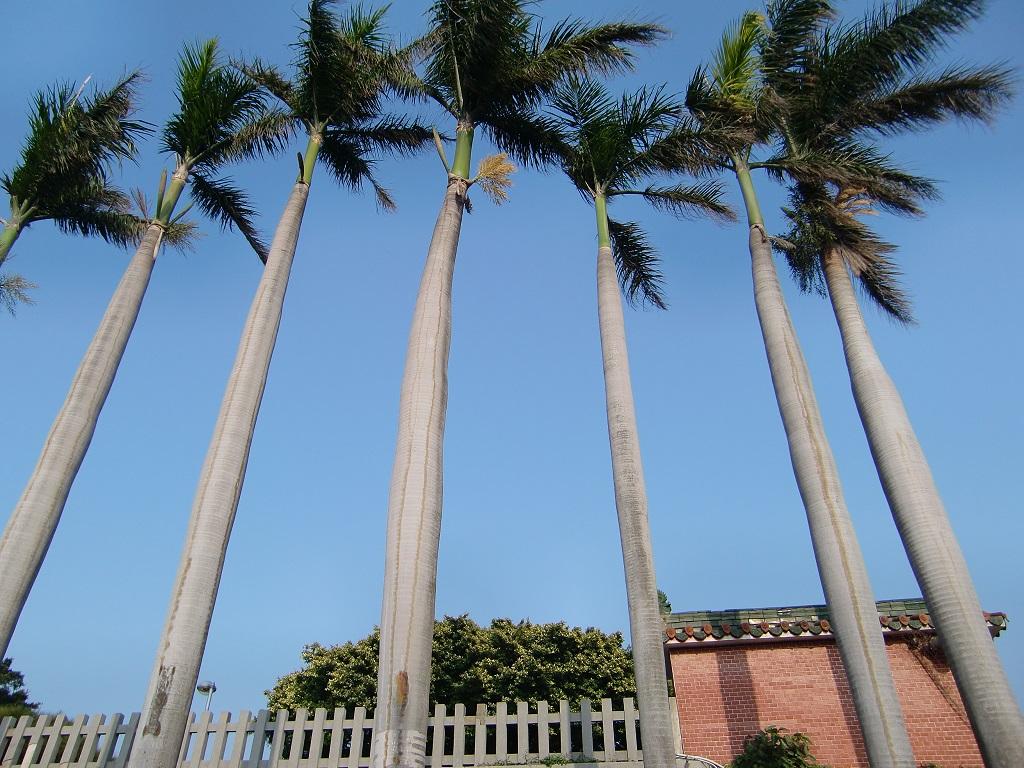 「大王椰子」的圖片搜尋結果
